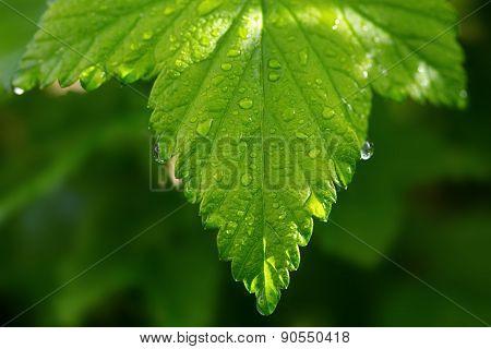 Green  Leaves ,macro Shot.