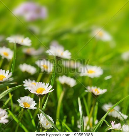 White Daisies Meadow.