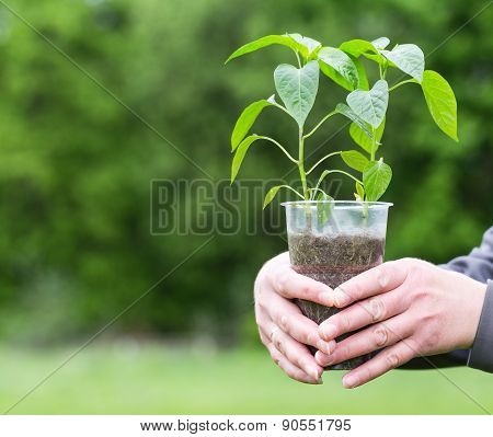 The girl holds plant of peppers in plastic cup.