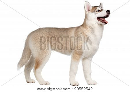 Siberian Husky Puppy Stands isolated on White