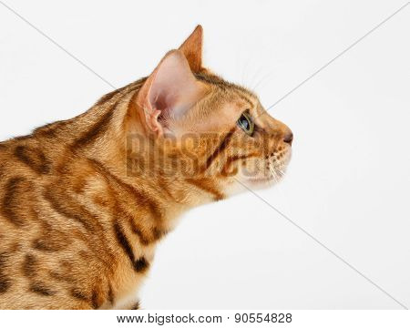 Close-up Bengal Cat at Profile view on White