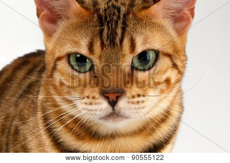 Close-up Bengal Cat Looking Angry in Camera on White