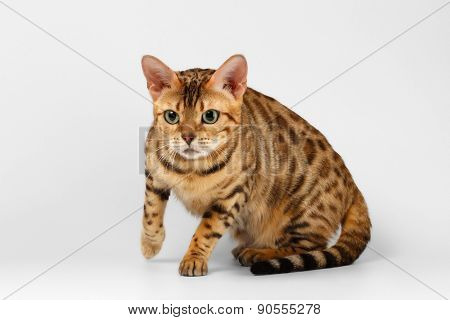 Crouching Bengal Cat on White Background