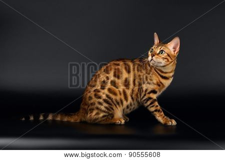 Bengal Cat turned Back on Black