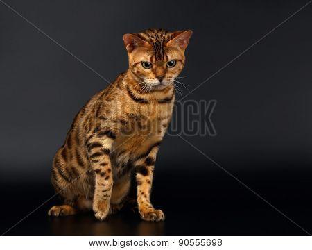 Bengal Cat Sits on Black