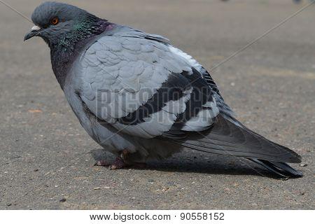 feral pigeon dove