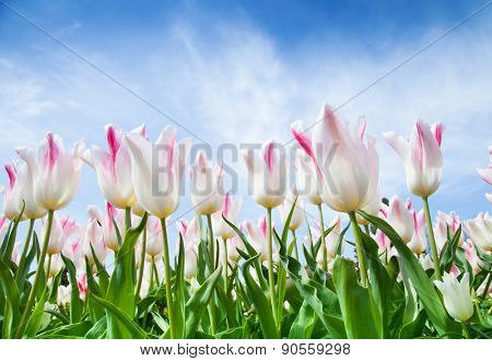 Blooming tulips shot from lower ceiling angle of view. Blue cloudy sky as background