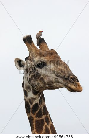 Giraffe with red-billed Oxpecker on his horn