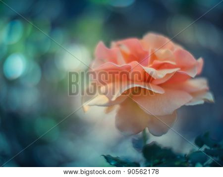 Beautiful rose flowergrowing in garden. Shallow DOF.