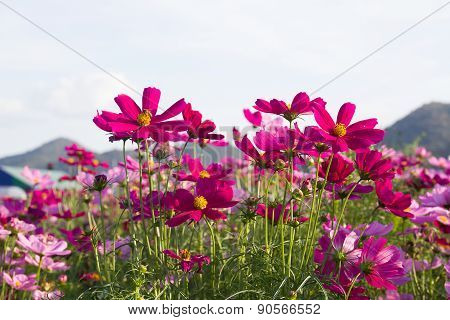 Close Up Pink Cosmos Flower