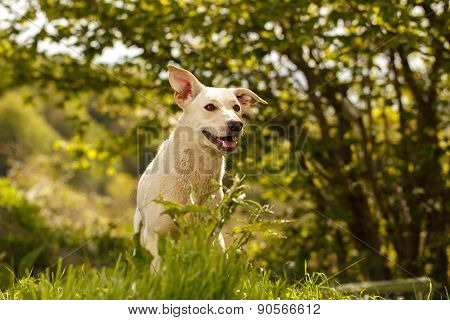 Funny White Dog looked out from Grass Outdoor