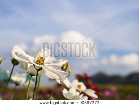 Close Up White Cosmos Flower