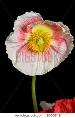 Beuatiful Pink And Qhite Poppy
