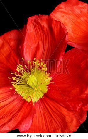 Closeup Of Red Poppy