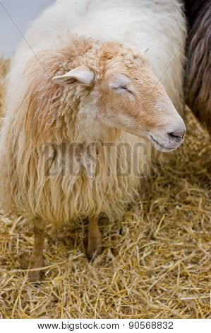 Typical Lacha Sheep Of Basque Country, Spain
