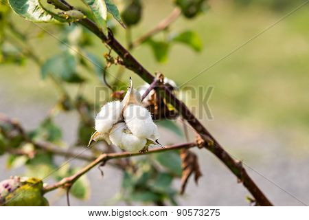 Close-up Of Ripe Cotton Boll On Branch