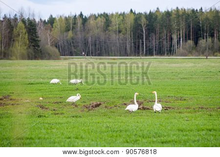 Wild Goose In The Meadow