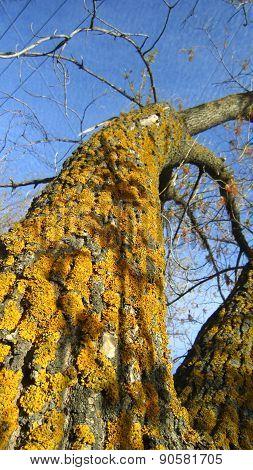 Lichens On Maple Tree