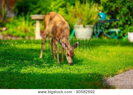 Mule Deer In Backyard
