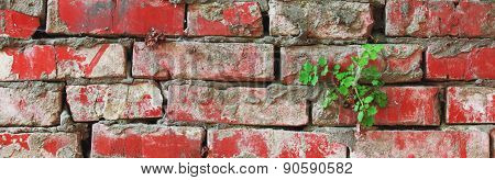 Plant Sprouted On An Old Dirty Red Brick Wall