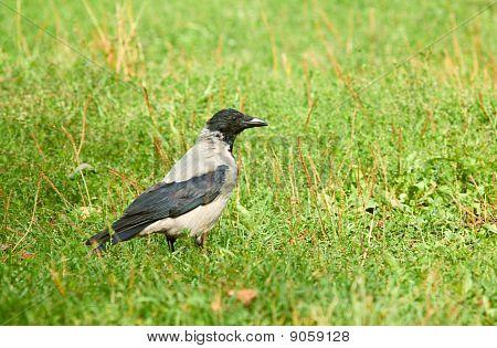 Jackdaw  (corvus Monedula). Walking On Green Meadow.