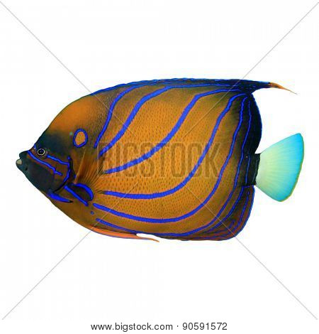 Tropical fish isolated: Blue-ringed Angelfish on white background