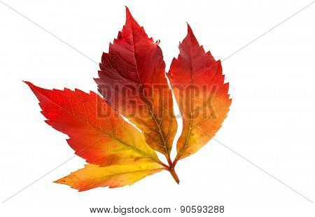 the colorful messengers of autumn. leaves on white background