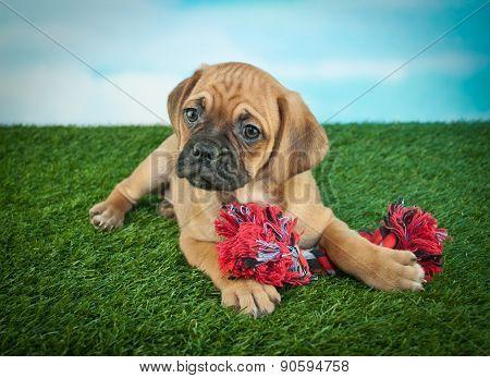 Beagle Bull Puppy