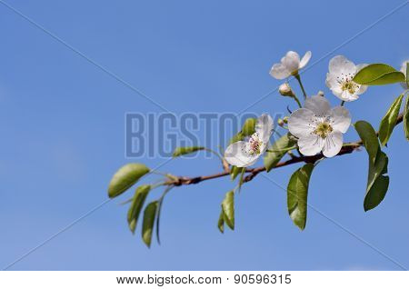 Blossoming Pear Tree Branch