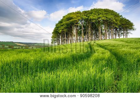 Copse Of Trees In Barley Field