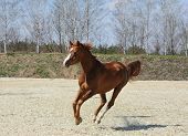 picture of arabian horse  - Chestnut purebred arabian horse in motion outdoor - JPG