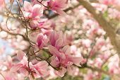 image of magnolia  - Looking up at a pink magnolia tree in full bloom - JPG