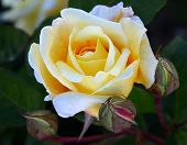 picture of yellow buds  - Beautiful yellow rose with buds on a green leaves background - JPG