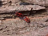stock photo of mating  - Two fire bugs mating on bark of tree - JPG
