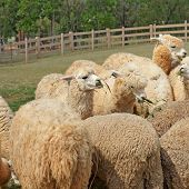 stock photo of alpaca  - group of lovely alpaca in the farm - JPG