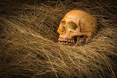 stock photo of morbid  - still life of skull on dried grass - JPG
