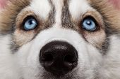 picture of husky  - Closeup Blue Eyes with Nose Siberian Husky Puppy - JPG