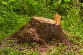 stock photo of cutting trees  - Stump in the forest - JPG