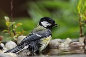 picture of tit  - Great Tit  - JPG