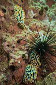 foto of hermaphrodite  - Underwater photography of nudibranch in Andaman sea  - JPG