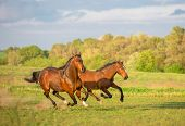 picture of wild horse running  - Two brown horses are running the green field - JPG