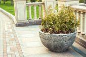 pic of hemisphere  - thuja in hemispherical concrete pot, summer garden decoration ** Note: Soft Focus at 100%, best at smaller sizes - JPG