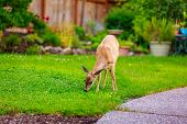 stock photo of mule  - Wild mule deer strides in suburban backyard grazing on the lawn - JPG