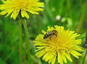 stock photo of pollen  - a bee collecting pollen on a yellow dandelion - JPG