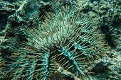 picture of echinoderms  - Underwater photography of a sea urchin on sea bed - JPG