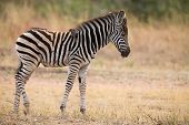 stock photo of pecker  - Small zebra foal standing with an ox - JPG