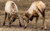 picture of antlers  - Rocky Mountain Elk sparring at the Hardware Ranch Wildlife Management Area in Utah - JPG