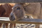 foto of jack-ass  - Cute donkey sticks its head between the wooden fence looking for food - JPG