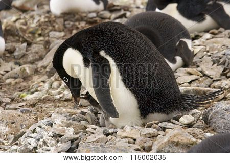 Adelie Penguin Feeding Chick On Nest