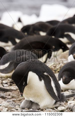 Adelie Penguin And Hatchlings